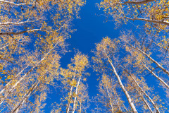 Photo of Aspens in the Cococino National Forest