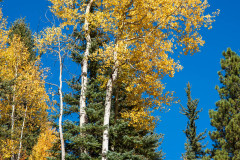 Photo of Aspen Trees on the road to Telluride, CO