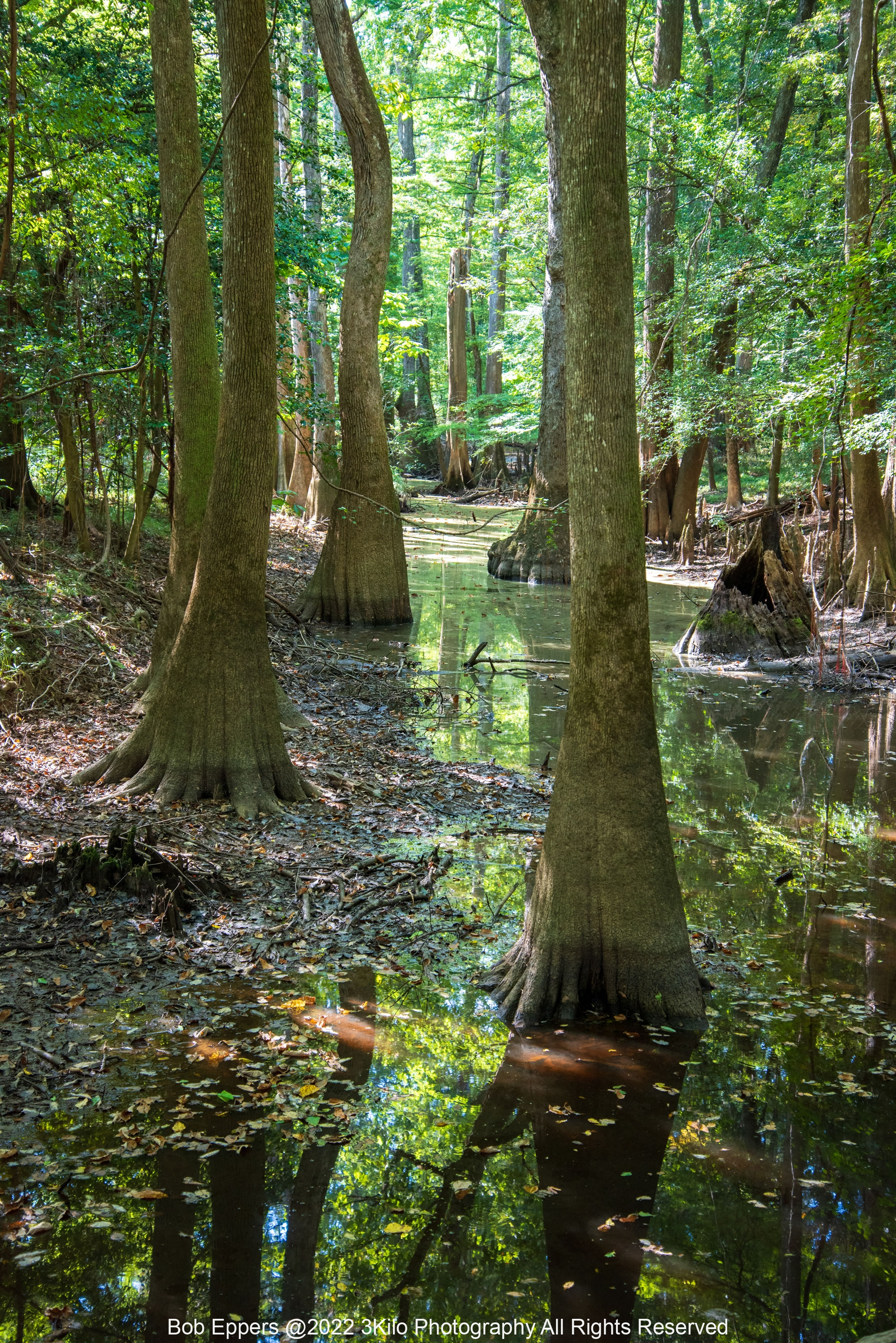 Photo of the Hardwood Cypress Trees and Reflections at the Congaree NP in SC