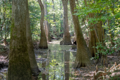 Photo of the Hardwood Cypress Trees and Reflections at the Congaree NP in SC. Mosquitos not shown !