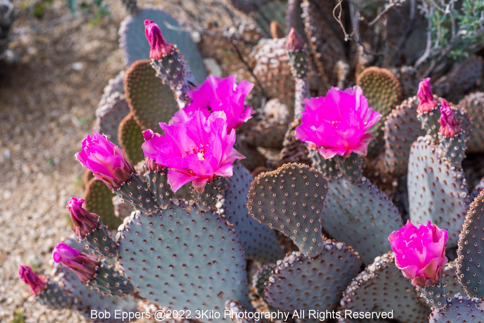 Photo of Cactus Flowers in Borrego Springs