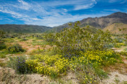 Photo of Desert Bloom in Borrego Springs, CA