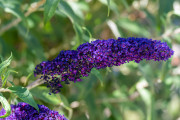 Photo of one of my Butterfly Bush Flowers