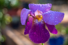Photo of Linda's Iris