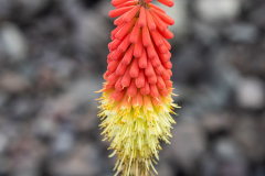 Photo of a Red Hot Poker flower along my Driveway
