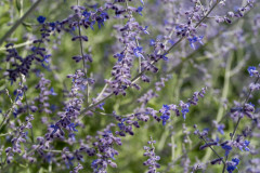 Photo of Russian Sage