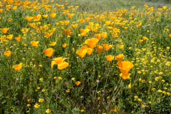 Photo of California Poppies in Winchester, CA