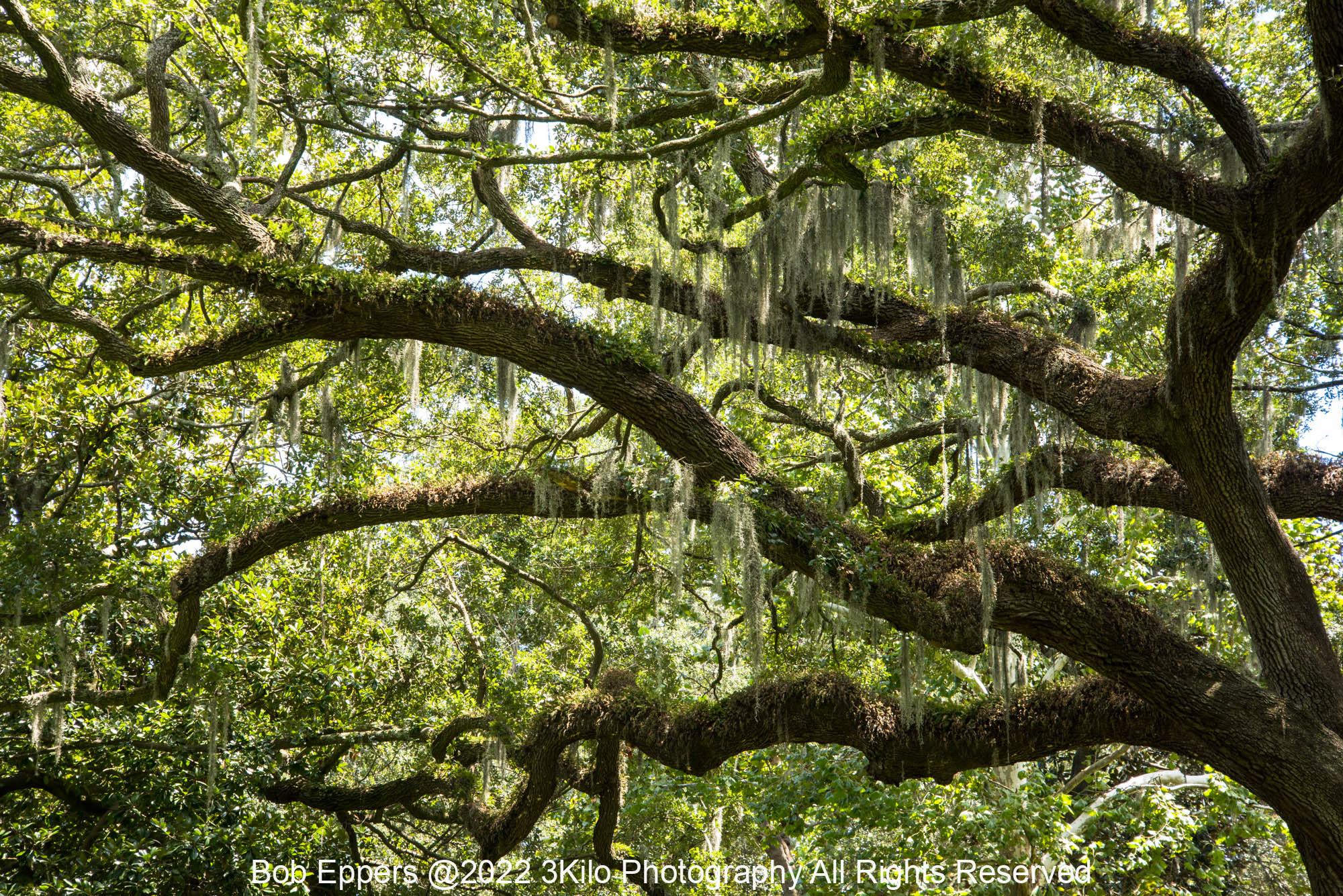 Photo of Spanish Moss and Oak Tree in Savannah, GA
