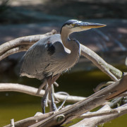 Photo of a Crane at the San Diego Zoo