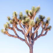 Photo of a Joshua Tree in Joshua Tree NP