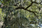 Photo of Spanish Moss and Oak Trees in Savannah, GA