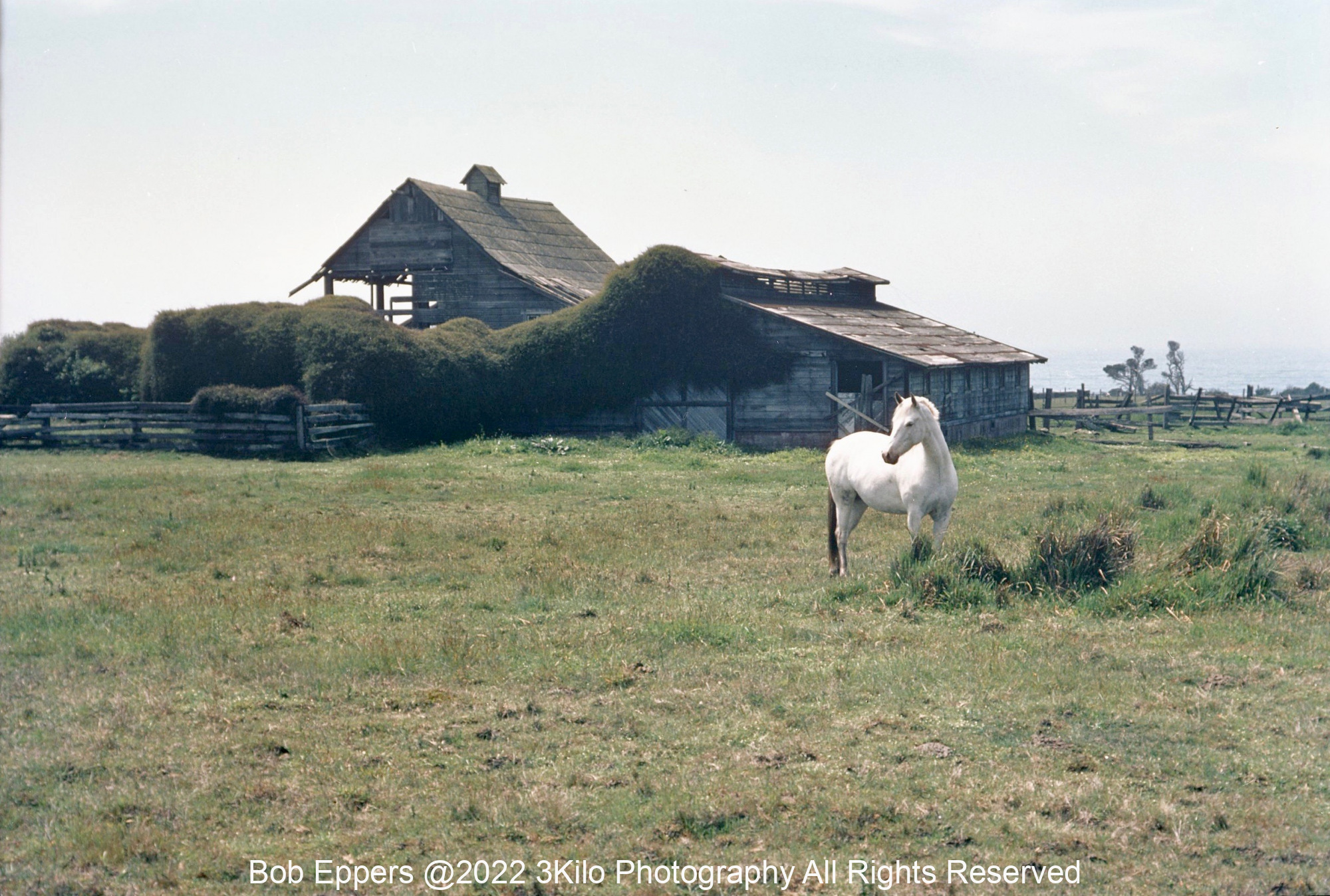 Photo of White Horse and Old Barn in Mendocino County in Northern CA.  This is from a 35mm slide and taken over 40 years ago