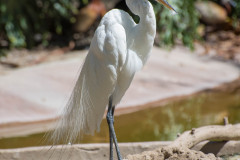 Photo of a White Crane at the San Diego Zoo