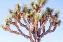 Photo of a Joshua Tree in Joshua Tree NP