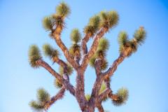 Joshua Tree at Joshua National Park