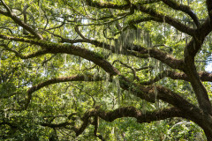 Photo of Spanish Moss and Oak Tree in Savannah, GA
