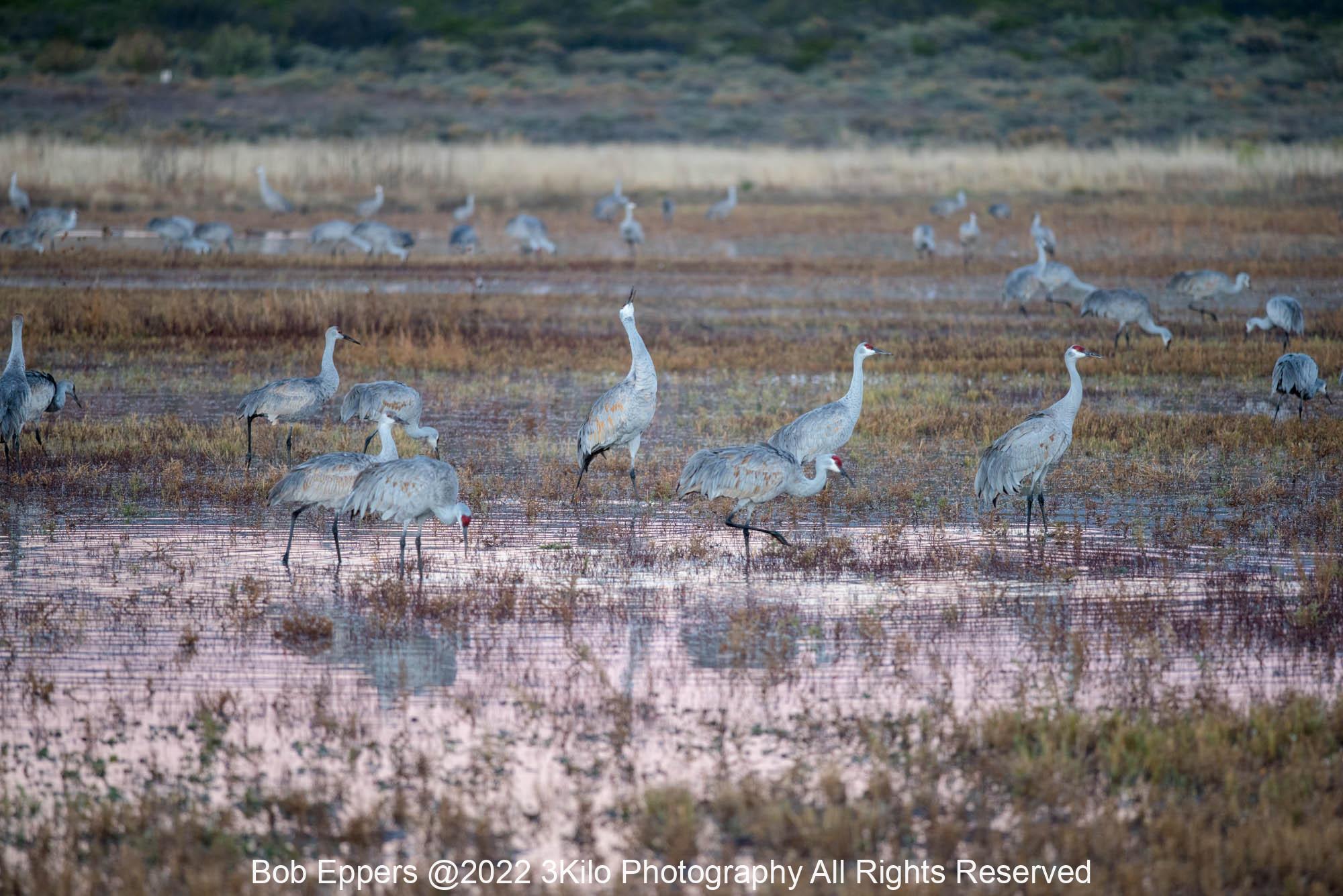 Photo of Sandhill Cranes at the Bosque del Apache.