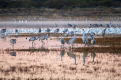 Photo of Sandhill Cranes at the Bosque del Apache.