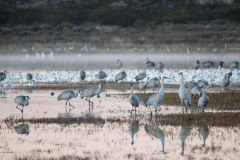 Photo Of Sand Hill Cranes at the Bosque del Apache
