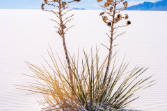 Photo of a Yucca Cactus at White Sands NP.