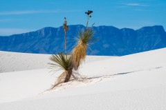 Photo of a Yucca Cactus at White Sands NP