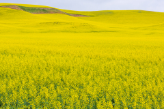 Photo of the Canola Fields in the Palouse
