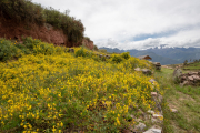 Photo of Wildflowers in the Sacred Valley in Peru