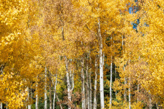 Photo of Colorado Aspens