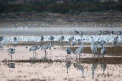 Photo of Sand Hill Cranes at the Bosque del Apache .