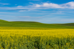Photo of Canola and Winter Wheat fields in the Palouse