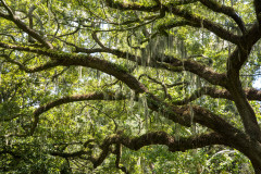 Photo of Oaks with Spanish Moss in Savannah GA